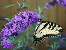 Beautiful Butterfly. Beatiful butterfly on a butterfly bush Royalty Free Stock Photography