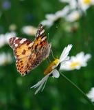 Beautiful butterfly. Feeding by nectary on daisy flower stock photos