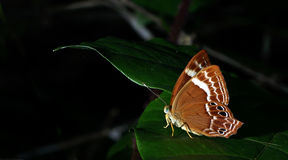Beautiful Butterfly, Abnormal Plum Judy, Abisara abnormis. Butterfly, Butterflies feed on green leaf, Abnormal Plum Judy, Abisara abnormis Stock Photography
