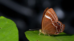 Beautiful Butterfly, Abnormal Plum Judy, Abisara abnormis. Butterfly, Butterflies feed on green leaf, Abnormal Plum Judy, Abisara abnormis Royalty Free Stock Photo