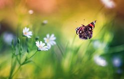 Beautiful butterfly Admiral flies to small white flowers grow on a fabulous beautiful lilac forest glade on a Sunny warm spring. Butterfly Admiral flies to small stock photo