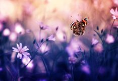 Beautiful butterfly Admiral flies to small white flowers grow on a fabulous beautiful lilac forest glade on a Sunny warm spring. Beautiful butterfly flies to royalty free stock photo