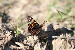 Beautiful butterfly Admiral ready to fly. Flying insect. Blurred background. Vanessa atalanta. stock photography