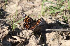 Beautiful butterfly Admiral ready to fly. Flying insect. Blurred background. Vanessa atalanta. royalty free stock photos