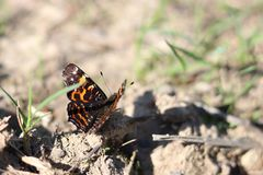 Beautiful butterfly Admiral ready to fly. Flying insect. Blurred background. Vanessa atalanta. stock images