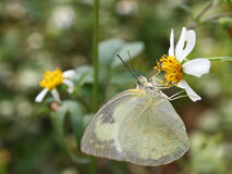 Beautiful butterfly - Appias albina semperi and flower Royalty Free Stock Photos