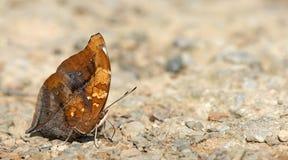 Beautiful Butterfly, Autumn Leaf, Doleschallia bisaltide Stock Photography