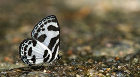Beautiful Butterfly, Banded Blue Pierrot, Discolampa ethion Royalty Free Stock Photo