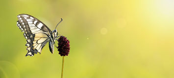 Beautiful butterfly banner Stock Images