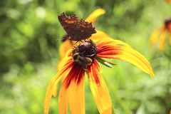 Beautiful butterfly and a bee on a summer flower Stock Photography