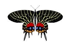 Beautiful butterfly Bhutanitis lidderdalii. Isolated on white background Royalty Free Stock Photos