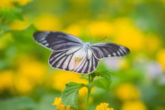 A beautiful butterfly. A butterfly butterfly with blooming flowers Stock Photos