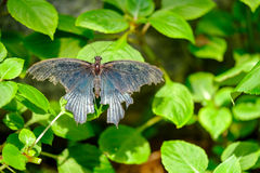 Beautiful butterfly. Blue colored butterfly sitting on leaves Stock Photo