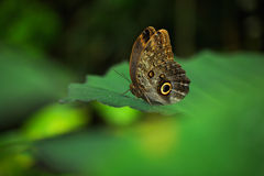 Beautiful butterfly Blue Morpho, Morpho peleides, in habitat, with dark forest, green vegetation, Costa Rica Stock Photo