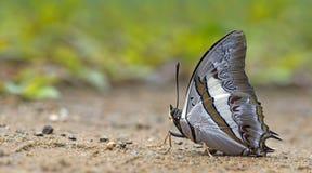 Beautiful Butterfly, Blue Nawab, Polyura schreiber royalty free stock photos