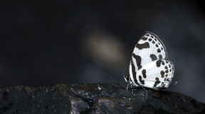Beautiful Butterfly, Blue Pierrot, Discolampa ethion Royalty Free Stock Photography
