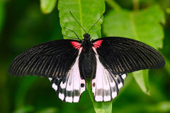 Beautiful butterfly from Borneo. Scarlet swallowtail, Papilio rumanzovia, sitting on the green leaves. Insect in dark tropic fores. T Stock Photo