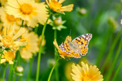 Beautiful butterfly. On the bright yellow flower royalty free stock images