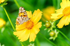 Beautiful butterfly. On the bright yellow flower Royalty Free Stock Image