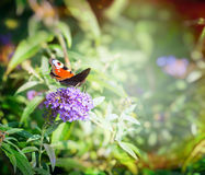Beautiful butterfly on butterfly bush over blurred flowers garden background Royalty Free Stock Photography
