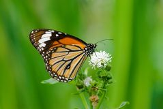 Beautiful Butterfly  (butterfly series) Royalty Free Stock Photos