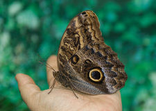 Beautiful butterfly Caligo Memnon  sitting on the   hand Royalty Free Stock Image