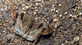 Beautiful Butterfly, Chestnut Angle, Odontoptilum angulatum Royalty Free Stock Photo