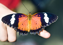 Beautiful  butterfly on child finger. Stock Photos