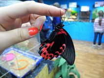Beautiful butterfly clings to fingers. Machaon black and red. stock photo