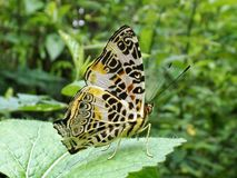 Beautiful butterfly on a leaf show magic pattern in her wings royalty free stock photos