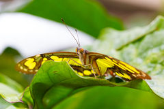 Beautiful butterfly closeup. Beautiful Butterfly in closeup view Royalty Free Stock Photo