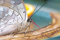 Beautiful butterfly closeup. Beautiful Butterfly in closeup view while eating Royalty Free Stock Image