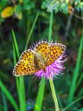 Beautiful butterfly closeup on the Gemmi Pass in Switzerland royalty free stock photography