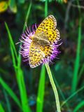 Beautiful butterfly closeup on the Gemmi Pass in Switzerland stock images
