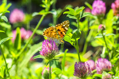 Beautiful butterfly on a clover flower, backlit Stock Photos