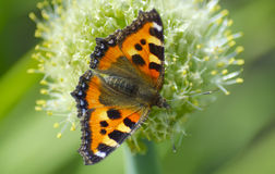 Beautiful butterfly collects nectar from a flower Stock Photography