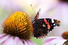 Beautiful butterfly collects nectar on a flower. Motley bright butterfly collects nectar on a beautiful echinacea flower royalty free stock photos
