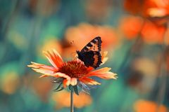 Beautiful butterfly collects nectar from an orange flower on a S Stock Photo