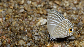 Beautiful Butterfly, Common Cerulean, Jamides celeno Royalty Free Stock Photo