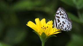 Beautiful Butterfly, Common Pierrot, Castalius rosimon Royalty Free Stock Photography