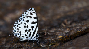 Beautiful Butterfly, Common Pierrot, Castalius rosimon Stock Images