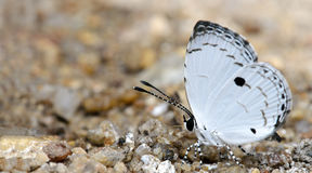 Beautiful Butterfly, Common Quaker, Neopithecops zalmora Stock Photography