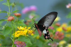 Beautiful butterfly Common Rose