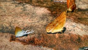 Beautiful butterfly crown in Thai National Park. Beautiful butterfly crown in Thailand National Park sensual Royalty Free Stock Image