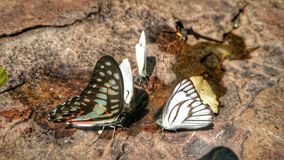 Beautiful butterfly crown in Thai National Park. Beautiful butterfly crown in Thailand National Park sensual Stock Photos