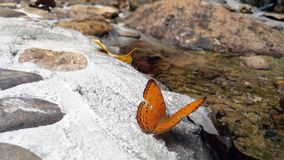 Beautiful butterfly crown in Thai National Park. Beautiful butterfly crown in Thailand National Park sensual Stock Photography