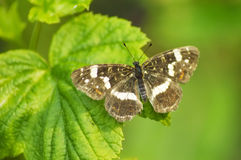 Beautiful butterfly on currant leaves. Beautiful butterfly on the currant leaves Royalty Free Stock Photos