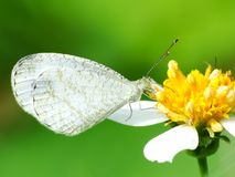 Beautiful butterfly decends on the flower. Butterfly looks for food and pollination every day in the morning Stock Image