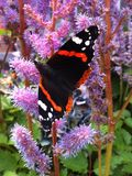 Beautiful Butterfly Drinking from a Flower Royalty Free Stock Photo