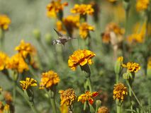 Butterfly is drinking nectar from flover Stock Images